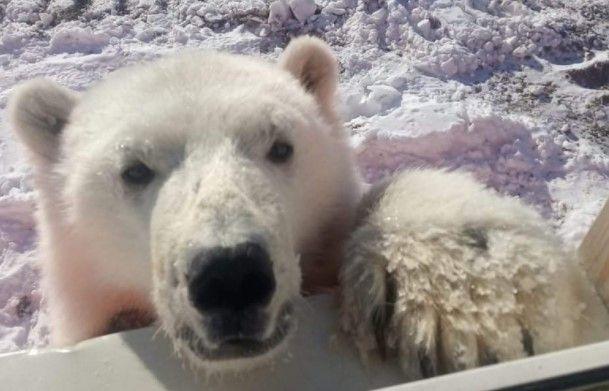 На севере Красноярского края вахтовики спасли медвежонка