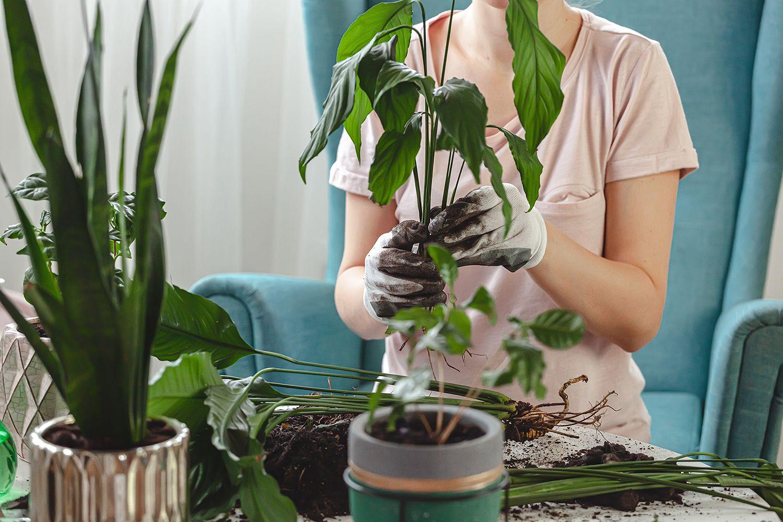Комнатные растения: как правильно пересадить и не навредить